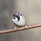 Passer montanus, Tree Sparrow. Stock Image