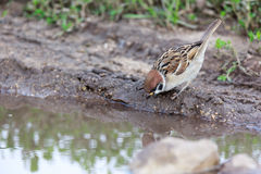 Passer montanus, Tree Sparrow. Stock Images