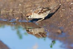 Passer montanus, Tree Sparrow. Stock Photos