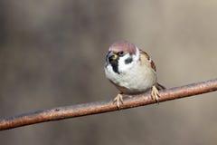 Passer montanus, Tree Sparrow. Royalty Free Stock Photo