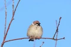 Passer montanus, Tree Sparrow. Royalty Free Stock Image