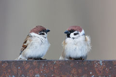 Passer montanus, Tree Sparrow. Stock Photo