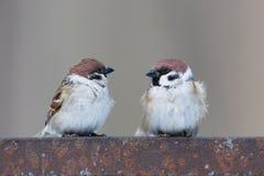 Passer montanus, Tree Sparrow. Stock Photo