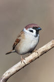 Passer montanus, Tree Sparrow. Royalty Free Stock Photography