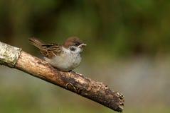 Passer montanus Tree Sparrow Royalty Free Stock Photo