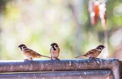 Passer montanus-Vögel hocken auf dem Zaun an einem vollen Tag als der Hintergrund Lizenzfreie Stockbilder