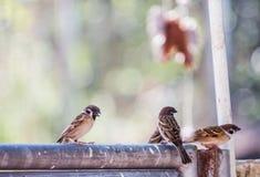 Passer montanus-Vögel hockten auf einem Zaun im Hintergrund an einem vollen Tag Lizenzfreies Stockfoto
