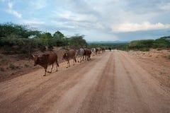 Passerar afrikanska kor för brunt och vitt mejeri en linje längs landsvägen bland den afrikanska savannahen, södra Etiopien Royaltyfri Fotografi