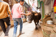 Passerby and cow, Varanasi, India stock photography