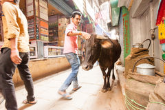 Passerby and cow, Varanasi, India Stock Image