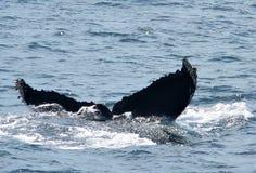 Passere della balena di Humpback Fotografie Stock