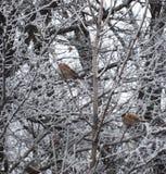 Passeri che si siedono sul ramo congelato Fotografie Stock