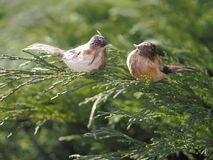 Passeri decorativi degli uccelli su un ramo del ginepro del cosacco immagini stock libere da diritti