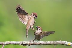 passeri degli uccelli che combattono su un ramo di albero di estate Fotografie Stock Libere da Diritti