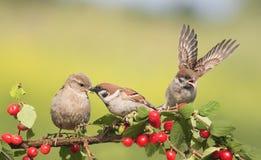 Passeri degli uccelli che si siedono su un ramo con la ciliegia delle bacche Fotografie Stock Libere da Diritti