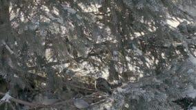 Passeri nella foresta dell'abete archivi video