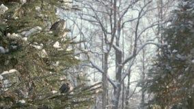 Passeri nella foresta dell'abete stock footage