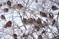Passeri ragruppati in un albero Fotografie Stock Libere da Diritti