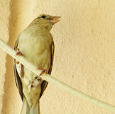 Passeridae, passeri, passeri del vecchio mondo, uccelli delle passeriforme, passeri veri, passeri, piccoli uccelli Fotografia Stock