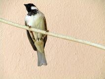 Passeridae, passeri, passeri del vecchio mondo, uccelli delle passeriforme, passeri veri, passeri, piccoli uccelli Fotografia Stock Libera da Diritti