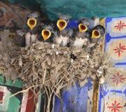 Passeriformes Royalty Free Stock Photo