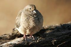 passerina dove общего columbina земной стоковые фотографии rf