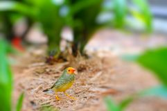 Passerine bird. In an aviary in Butterfly World, South Florida Royalty Free Stock Photo