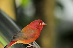 Passerine bird in aviary in South Florida Stock Photos