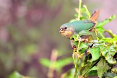 Passerine bird in tree in aviary Stock Photography