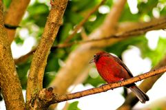 Passerine bird on tree branch in aviary Stock Photography