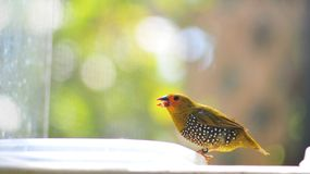 Passerine (Passerida) bird Royalty Free Stock Photos