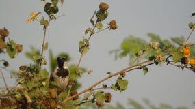 Passerine sparrow Stock Photos