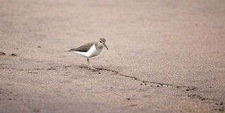 Passerinefågel Royaltyfri Bild