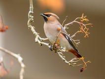 Passerinevogel Winter des böhmischen Waxwing, der Beeren isst Stockbilder