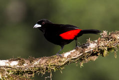 Passerini's Tanager Male. Perched on a branch Royalty Free Stock Image