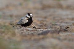 Passero-allodola Nero-incoronata - nigriceps di Eremopterix nel deserto della vista del boa Fotografia Stock Libera da Diritti
