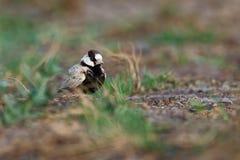Passero-allodola Nero-incoronata - nigriceps di Eremopterix nel deserto della vista del boa Fotografie Stock Libere da Diritti