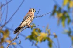 passero americano del kestrel del falco Fotografia Stock