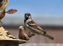 Passero che mangia ad un alimentatore dell'uccello immagine stock libera da diritti