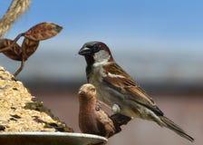 Passero che mangia ad un alimentatore dell'uccello immagine stock