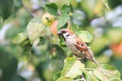 Passero che si siede su un ramo con le mele rosse e che tiene nei suoi insetti del becco Fotografia Stock Libera da Diritti