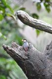 Passero del Java nel foro dell'albero Immagini Stock Libere da Diritti