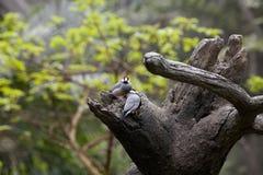 Passero del Java (oryzivora del Padda) Immagini Stock Libere da Diritti