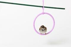 Passero dell'uccellino implume, isolato su fondo bianco Fotografie Stock