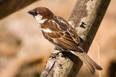 Passero dell'uccello canoro del Brown Fotografia Stock Libera da Diritti
