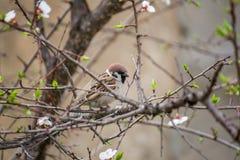 Passero della primavera Fotografia Stock Libera da Diritti