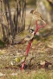 Passero di albero, Bulbul Luminoso scaricato ed eurasian Siskin Fotografia Stock