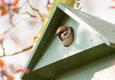 Passero di albero euroasiatico in un aviario Immagine Stock Libera da Diritti