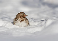 Passero di canzone in neve Immagine Stock