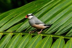 Passero di Java sulla fronda della palma in Hong Kong Immagini Stock Libere da Diritti